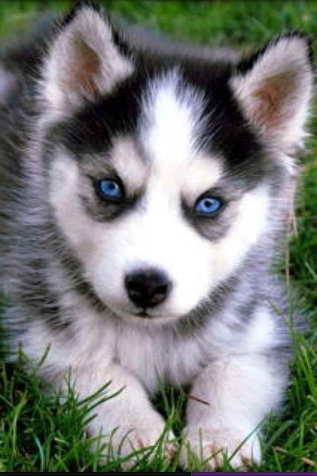 Baby Blue Eyed Husky Cute Husky Puppies Husky Puppy Pomeranian
