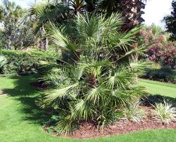 European Fan Palm Tree - Cold Hardy Palms   Southern Select Palms   Tropical & Indoor Palms - Willis Orchard Company