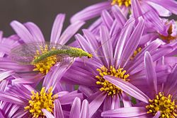 Chrysopidae - Wikipedia, the free encyclopedia, lacewings are attracted by sunflowers, cosmos, asters, dandelions, dill, cilantro