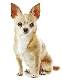 Facts about the Boston Terrier-Chihuahua Mix (