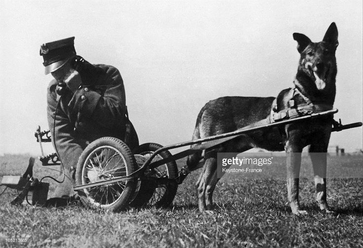 An Officer From The Polish Army Using A Telephone Affixed To A Dog Sled, In Poland In The 1930'S.
