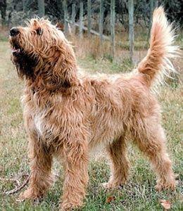 Otterhound dog breed