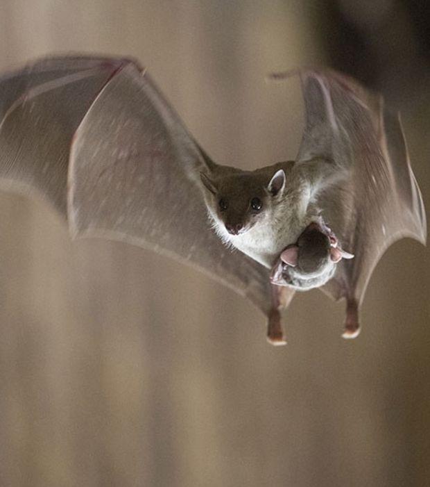 Une chauve-souris tenant avec elle son petit en plein vol entre ses griffes
