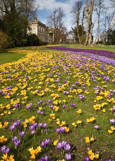 Yellow and purple crocus. ---- [This Pin was discovered by Deborah Browning].