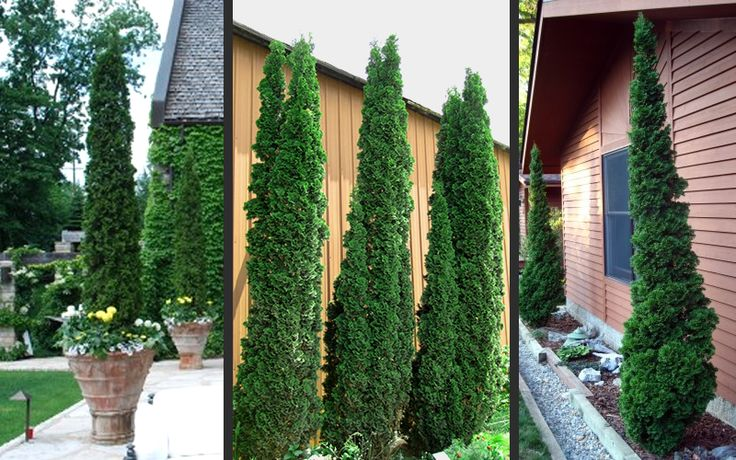 25 best ideas about arborvitae landscaping on pinterest for Skinny trees for tight spaces