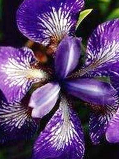 Iris sibirica 'Kita-No-Seiza'