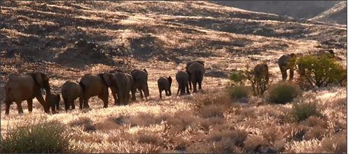 Een kudde olifanten in een okerbruine steppe. #Namibië