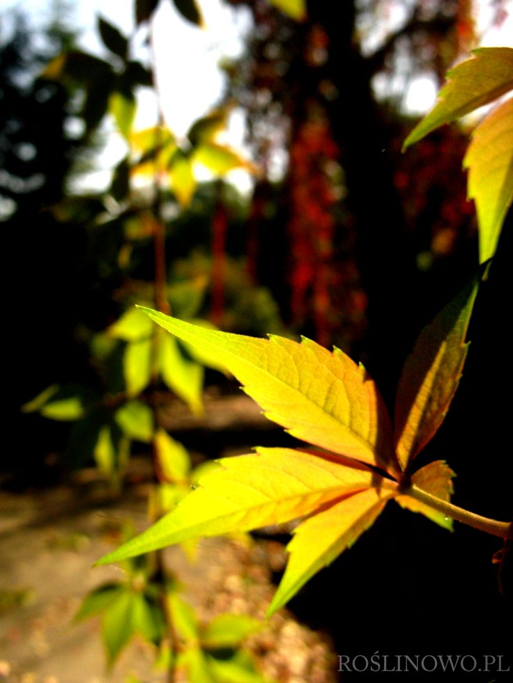 winobluszcz pięciolistkowy (Parthenocissus quinquefolia)
