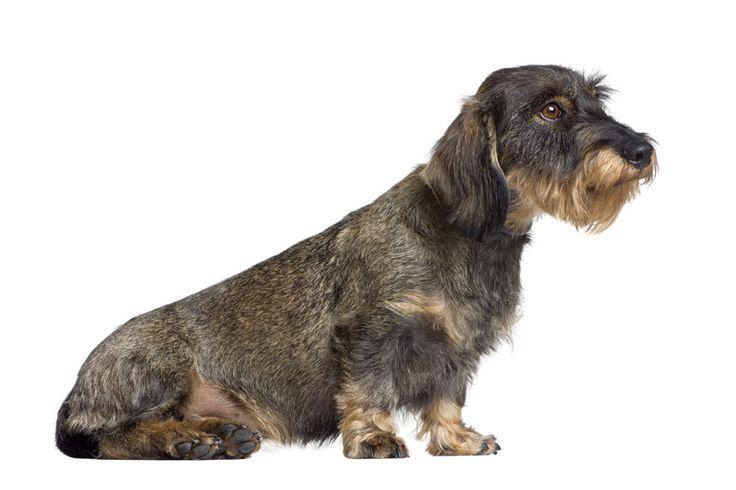 Teckel De Teckel is met zijn lange lijf, geringe hoogte en korte pootjes een van de meest herkenbare en aansprekende hondenrassen. Oorspronkelijk is de Teckel gefokt om dassen, konijnen en prairiehonden op te sporen en verjagen. Vandaar dat dit hondenras ook wel bekend is als de 'Dashond'.  Tegenwoordig is de Teckel door zijn eigenwijze en speelse karakter vooral populair als huisdier. Ze zijn dol op balspelletjes; als ze zin hebben dan brengen ze de bal zelfs terug als je die gooit…