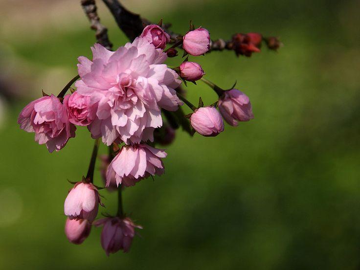 Sakura / Japanische Kirschblüte / Cherry blossom