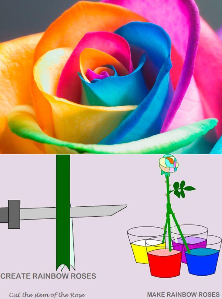 Convertir rosas blancas en rosas de varios colores. Junto al apartado de biología y estudiar la absorción del agua en las plantas, se cortará el tallo en varias partes y se pondrá en distintas tintas diluidas, comprobando la absorción de dicha planta.