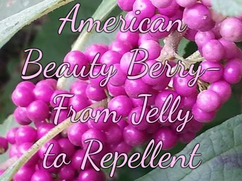 """Perhaps you have them around you too! Looking forward to using this """"bug repellent"""" in my back yard more often! American Beauty Berry- from Jelly to Bug Repellent – Back 2 Simple Life"""