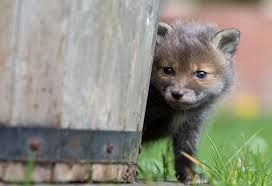 Картинки по запросу лисенок черно-бурой лисицы