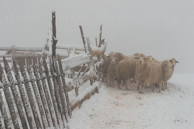 Group of domesticated sheep next to wooden fence stick together in mist during heavy winter. Povlen mountain in Serbia. You can license this photo exclusively at Stocksy United.