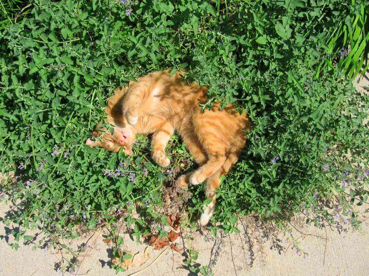 Você conhece a erva-do-gato? A Catnip é nativa da Europa e da Ásia, a planta é uma erva perene da família das hortelãs. A planta provoca nos felinos em geral uma reação de apuração dos sentidos predadores, por isso, ficam bastante alterados. Uma substância conhecida como Neptalactone compõe a planta. Esta substância age no cérebro do gato através do odor. Os animais costumam brincar, morder, rolar por cima e até tentam come-la, mas a reação é através do cheiro e não dura mais que poucos…