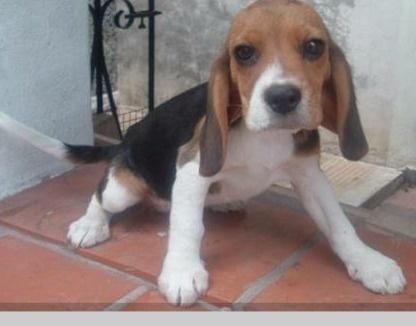 Beagles http://venta-mascotas.vivavisos.com.ar/comprar-mascota+saavedra/beagle-trela-s/45391448