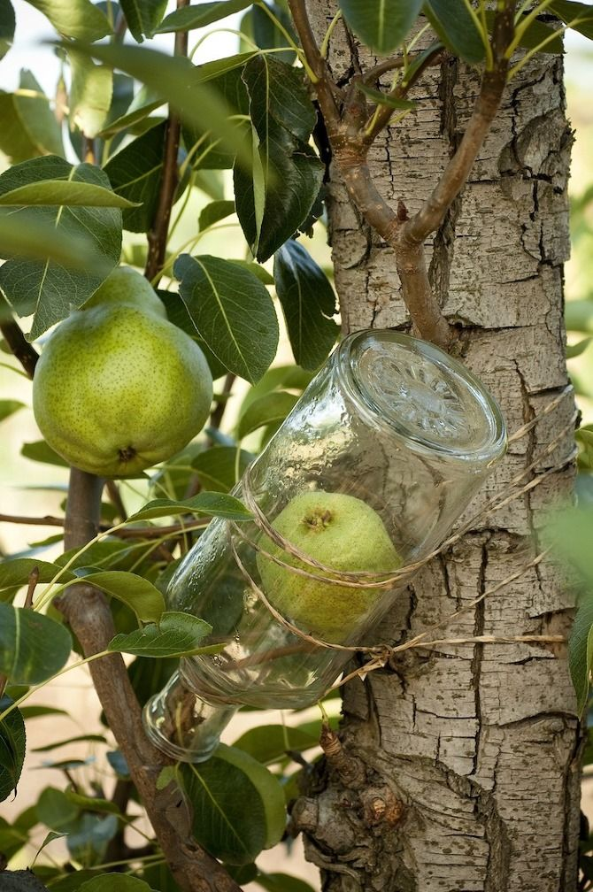 Eau de Vie: French technique of growing a fruit in a bottle.  When the pear blossoms begin to appear, slip them into a bottle, tie the bottle to the tree and the tree will produce the pear in the bottle.