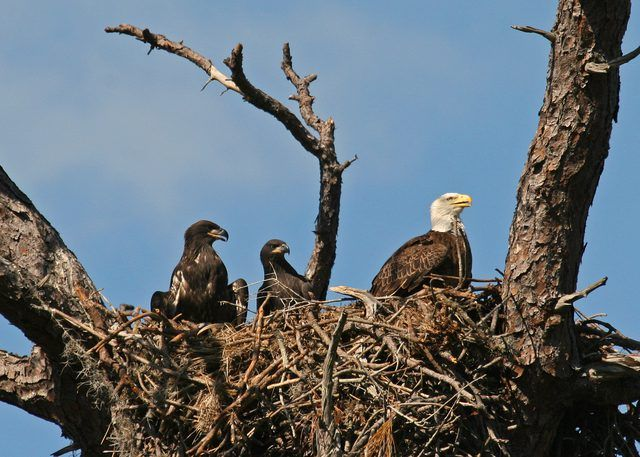 American Bald eagle () in nest with 2 eaglets... Gender may be determined by comparing the pitch of two eagles, Bald Eagle Info explains. Females tend to have a lower pitch than males and can be identified this way.