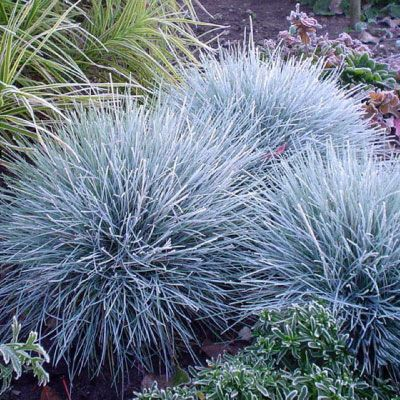 blue fescue (festuca 'elijah blue') - my little seedlings are a few blades short of a clump.