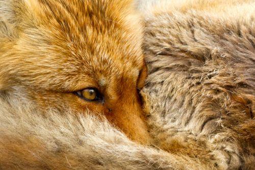 """Red Fox portrait"" by Menno SchaeferMenno Schaefer, Wild Life, Foxes Portraitbymenno, Nature, Animal Kingdom, Foxy, Foxes Portraits By Menno, Red Foxes, Animal Photos"
