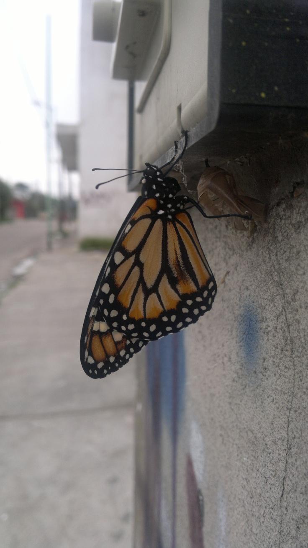 Mariposa Monarca recién nacida en la vía pública
