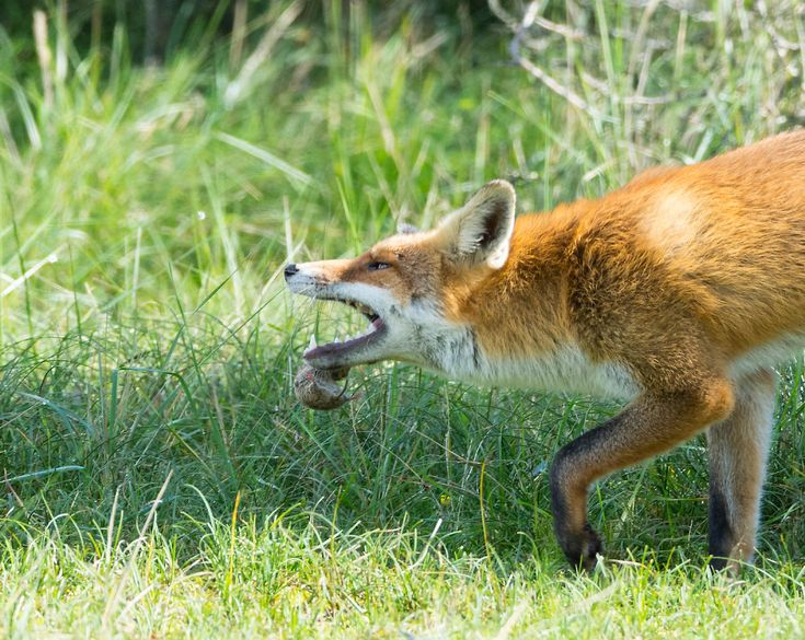 How To Get Rid Of Foxes Fox Removal Havahart In 2020 How To Get Rid Fox Animal Pen