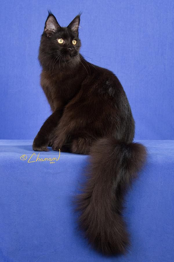 #MaineCoon #Black #Solid