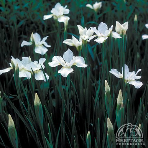"Iris sibirica 'White Swirl' (Hauser's) To 39"" H and 18-24"" W"