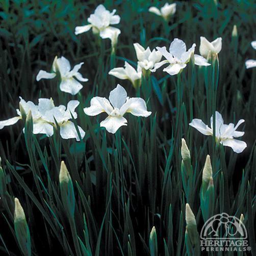 """Iris sibirica 'White Swirl' (Hauser's) To 39"""" H and 18-24"""" W"""