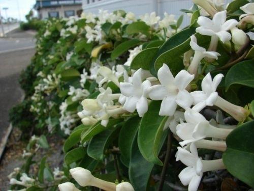 Madagascar Jasmine (Stephanotis floribunda) - All online plants for sale - Lush Plants Nursery Australia