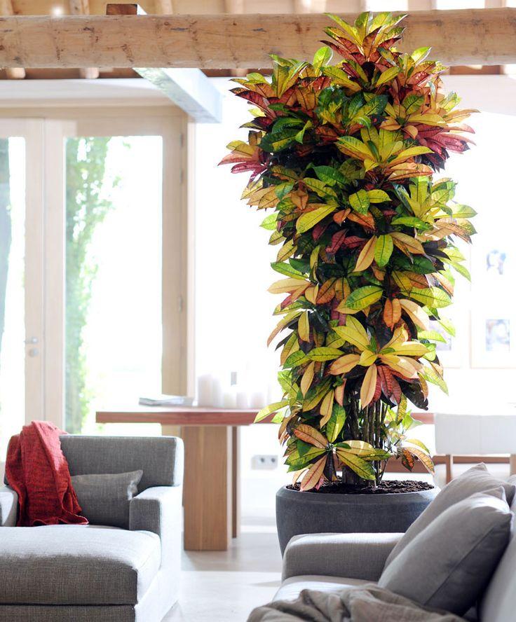 croton mrs iceton indoor gardeninghouseplantsindoor outdoortall
