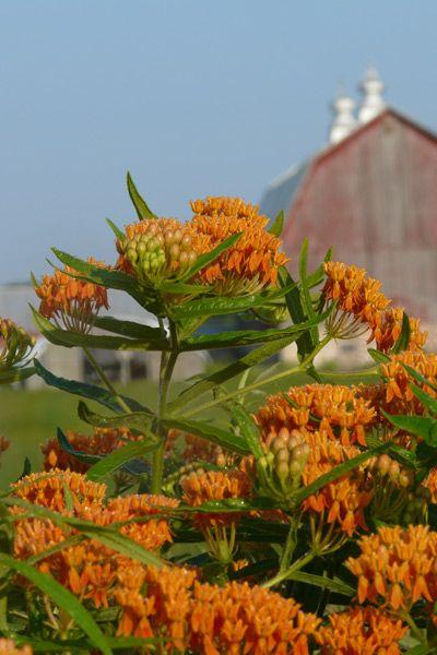 Butterflyweed (Asclepias tuberosa) : Prairie Nursery : Native Plants