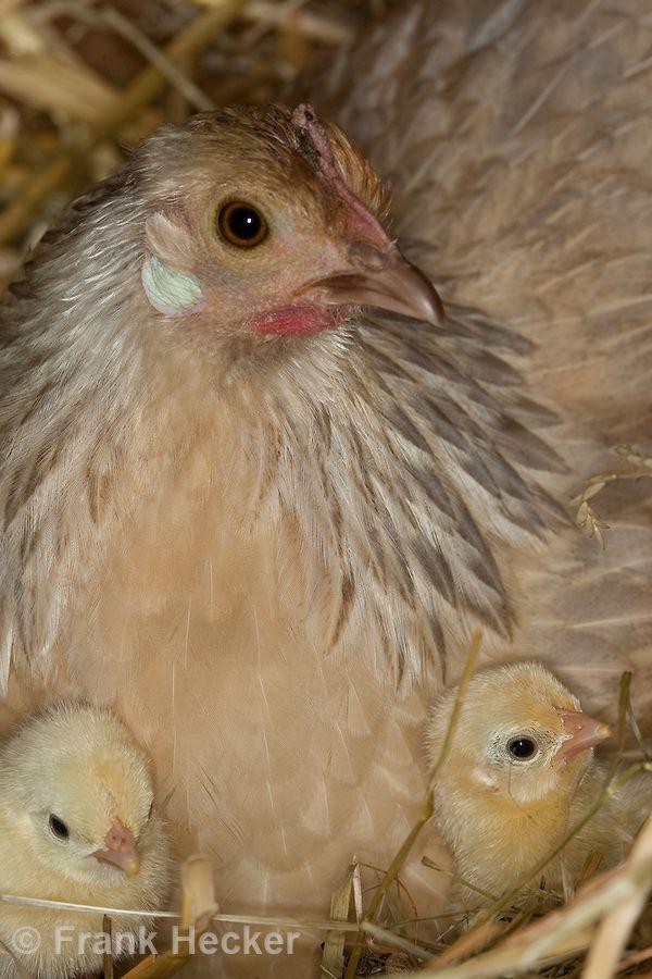 Zwerghuhn, Huhn, Henne hudert ihre Küken im Nest im Hühnerstall, Hühnerküken, Zwerghühner, glückliche Hühner, artgerechte Tierhaltung