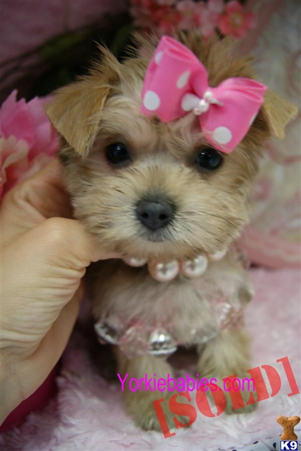 teacup+dog+breeds+pictures BEAUTIFUL TEACUP MORKIES