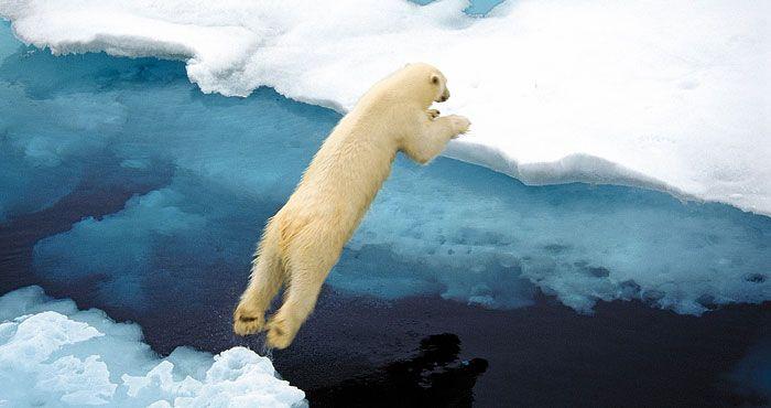 L'orso polare in azione!
