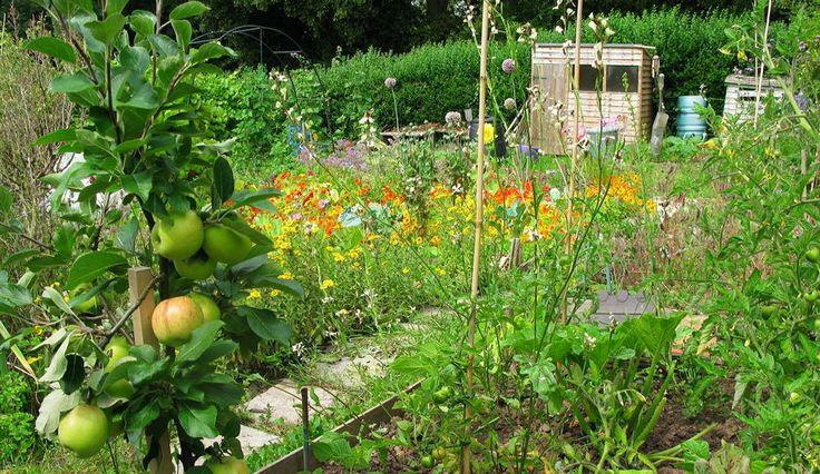 My allotment in summer