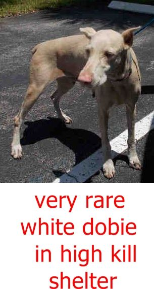 SAFE --- DORA (A1809845) I am a female tan and white Doberman Pinscher.  The shelter staff think I am about 2 years old.  I was found as a stray and I may be available for adoption on 08/24/2016. Miami Dade  https://www.facebook.com/urgentdogsofmiami/photos/a.477521308948944.116125.191859757515102/1267114099989657/?type=3&theater