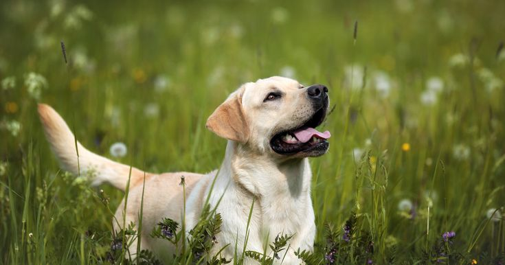 Whether you have a dog or have simply seen it happen to others, the image of a happy pup greeting its owner with a wagging tail is familiar. But the meaning of that tail wag is not as simple as you …
