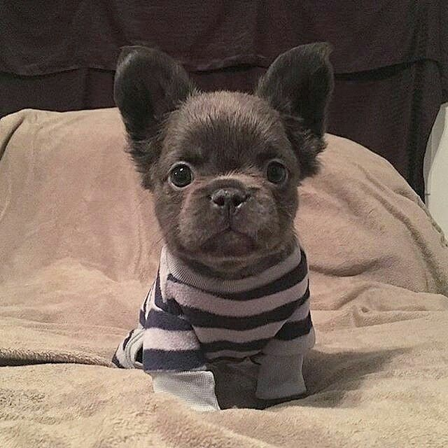 Good night ❤ Long Haired French Bulldog Puppy, (he's Long Haired because of a recessive Corgie Gene; Frenchies were originally bred from mixing English Bulldogs, Chinese Pugs, and Corgis.)