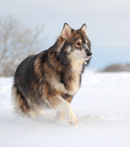 Beautiful Husky, German Shepard, and Alaskan malamute mix. Looks like a wolf. Defiantly want one!