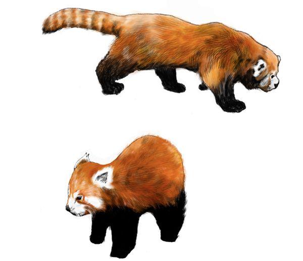 Red Panda on Behance