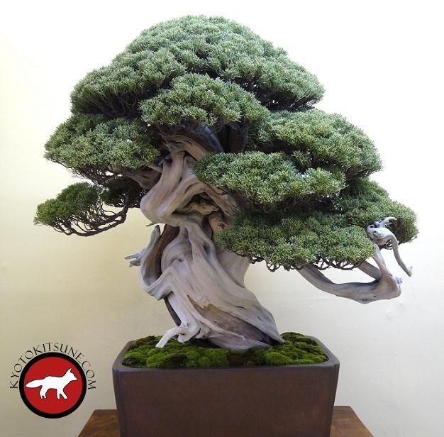 Kyoto expo de bonsaï