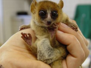 One of the cutest endangered animals: The Mouse Lemur