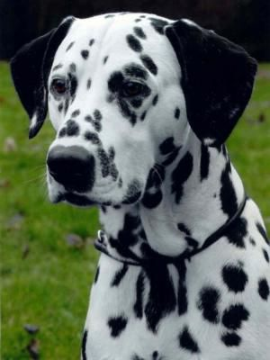 Paddy the Dalmatian
