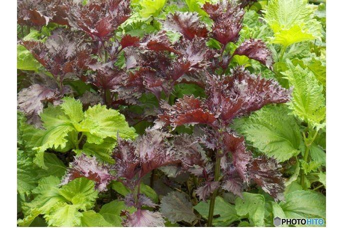 シソは、育てる手間はほとんどかかりません。一度植えると、翌年にはこぼれ種からか姿を現すことも。 ただし、赤シソと寄せ植えすると、翌年には交雑によって、緑と赤の入り混じったシソが出てくることがあるとか。