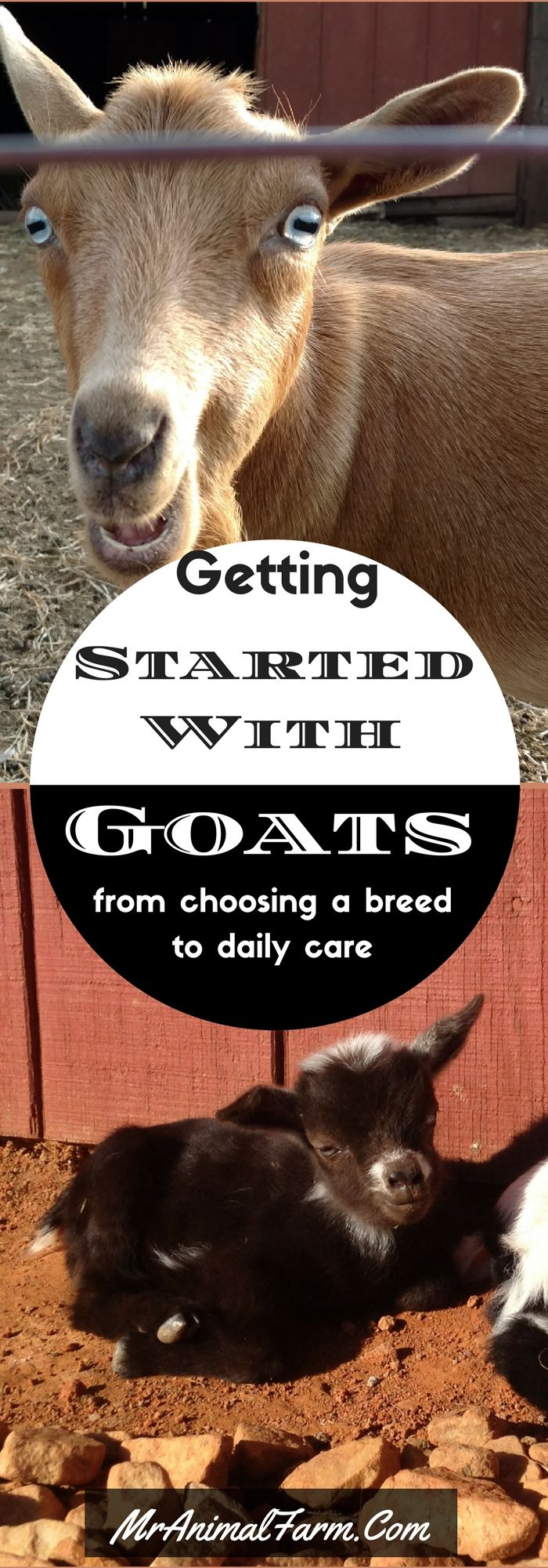 Wanna get started raising goats?  Find out how you can raise your own goats!