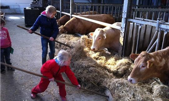 Boer Jan helpen met de koeien in de stal op FarmCamps Mariekerke.