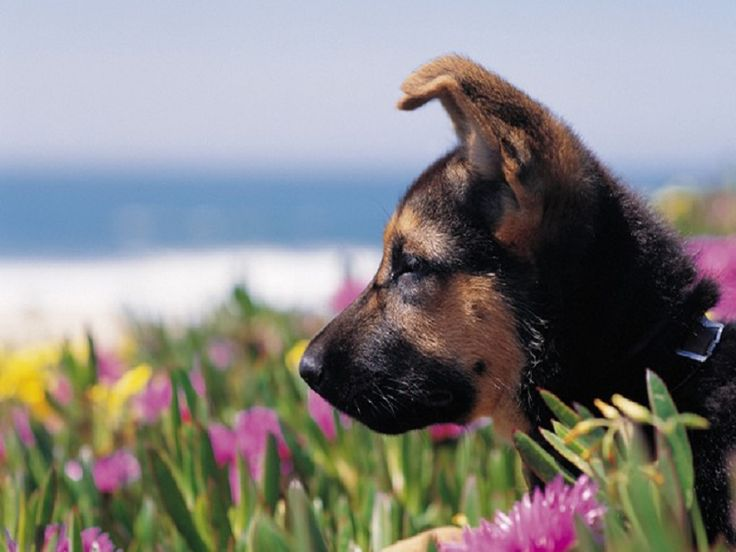 sød hundehvalp - Google Search