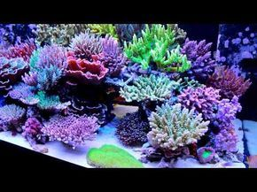 Masanao Shibuya's SPS reef tank is bordering on perfection   Full tank shots, Japanese Reef, Masanao Shibuya, reef tank, SPS reef, video   Acropora, Coral, Featured Reefs, millepora, News, reef tanks, SPS Corals, Video  Reef Builders