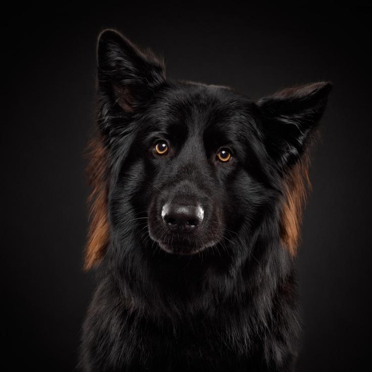 BALOU, Altdeutscher Schäferhund, 2 Jahre
